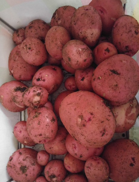 Finally the red potatoes were ready.